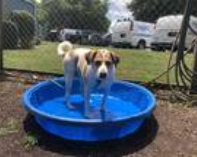 Adopt ABBY a Tan/Yellow/Fawn - with White Australian Cattle Dog / Labrador