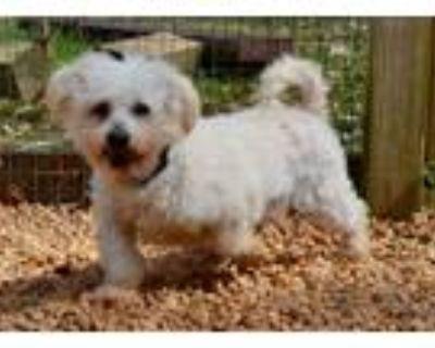 Adopt Murphy a Poodle
