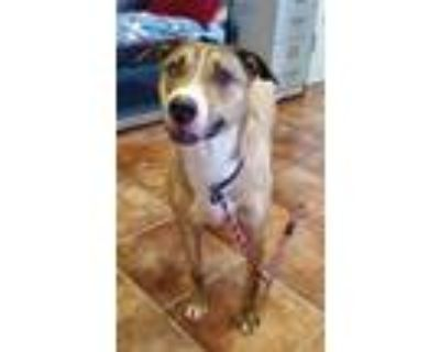 Adopt Boomer a Brindle Labrador Retriever / Pit Bull Terrier / Mixed dog in