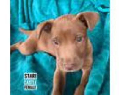 Adopt STARI SOCIETY- A CASTLE PUP a Labrador Retriever, Mixed Breed