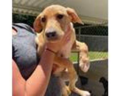 Adopt Jellybean a Tan/Yellow/Fawn Labrador Retriever / Mixed dog in Minneapolis