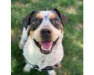 Adopt Drew a Australian Cattle Dog / Blue Heeler, Mixed Breed