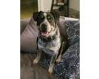 Adopt Rocky a Basset Hound, Rottweiler