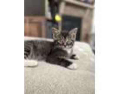 Camry, Domestic Shorthair For Adoption In Richmond, Virginia