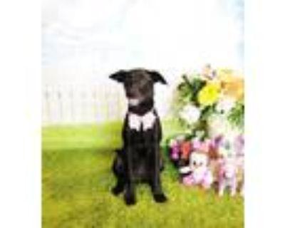 Adopt Hardetta a Labrador Retriever
