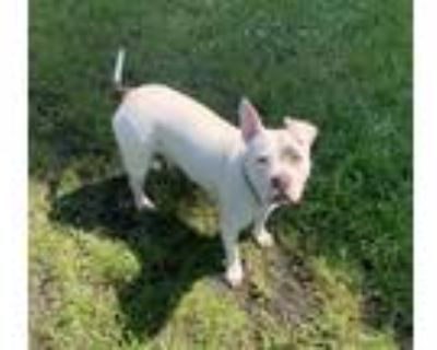 Adopt Izzy a White - with Black American Pit Bull Terrier / Mixed dog in