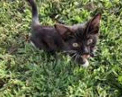 Adopt Baby a Black & White or Tuxedo Domestic Shorthair / Mixed (medium coat)