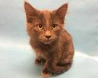 Adopt Raven a Gray or Blue Domestic Longhair / Domestic Shorthair / Mixed cat in