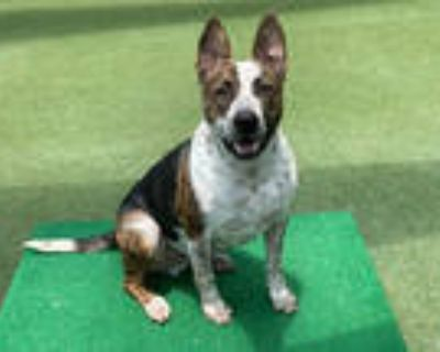 Adopt ROCKIE a Brindle Australian Cattle Dog / Mixed dog in Pasadena