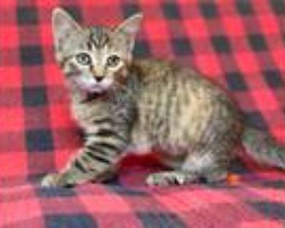 Adopt Hazel a Domestic Shorthair / Mixed (short coat) cat in Park City