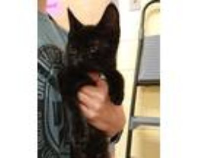 Adopt CARNATIONS a All Black Domestic Shorthair / Mixed (short coat) cat in