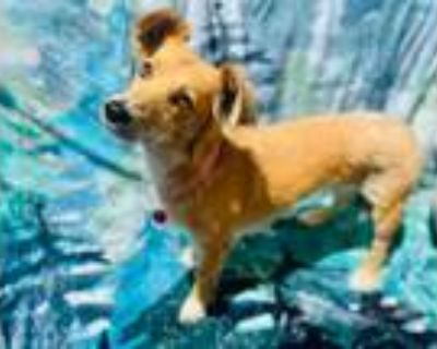 Adopt Sandy a Tan/Yellow/Fawn - with White Terrier (Unknown Type