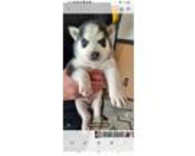 Adopt Sally a Siberian Husky