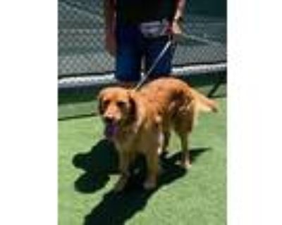 Willow, Golden Retriever For Adoption In Los Angeles, California