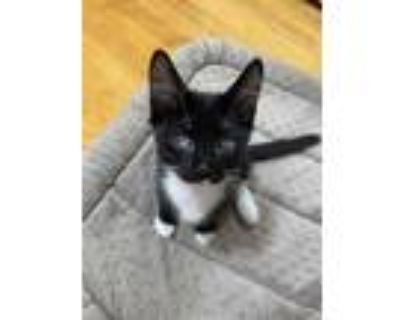 Adopt Tiny a All Black Domestic Shorthair / Domestic Shorthair / Mixed cat in