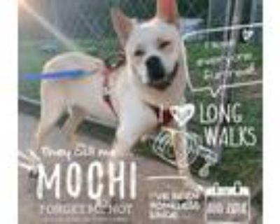Adopt Mochi a Akita