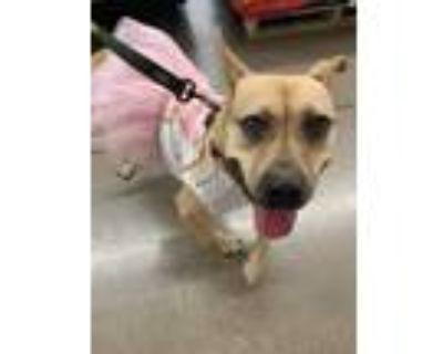 Adopt Donna a Tan/Yellow/Fawn Pit Bull Terrier dog in Phoenix, AZ (28289495)