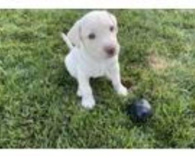 Adopt Fudge a Labrador Retriever