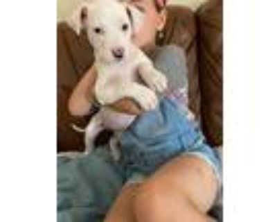 Adopt Timion a White Boxer / Mixed dog in Lima, PA (31607410)