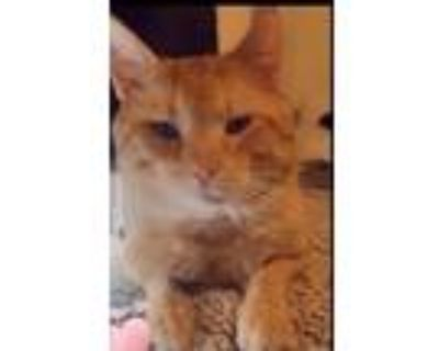 Adopt Max a Orange or Red American Shorthair / Mixed (short coat) cat in