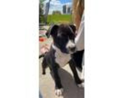 Adopt Motormouth a Pit Bull Terrier, Mixed Breed
