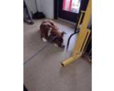 Adopt 47912419 a Red/Golden/Orange/Chestnut Collie / Mixed dog in Fort Worth