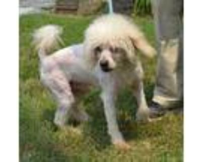 Adopt Schnood a Tan/Yellow/Fawn Poodle (Miniature) / Mixed dog in Midland