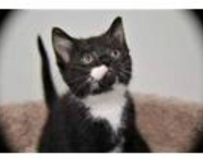 Adopt Breeze a All Black Domestic Shorthair / Domestic Shorthair / Mixed cat in