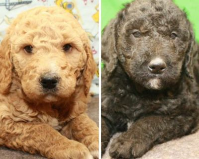 Registered Labradoodle Puppies