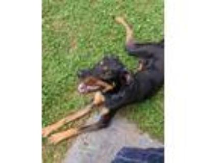 Adopt Triton a Brown/Chocolate - with Tan Labrador Retriever / Rottweiler /