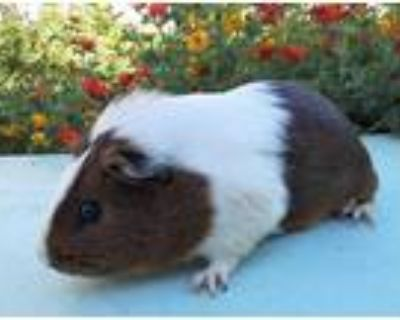 Adopt TOAST a Black Guinea Pig / Mixed small animal in Van Nuys, CA (32138115)