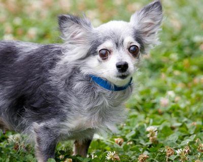 Thumbalina 11378 - Chihuahua, Long Coat/Mix - Senior Female