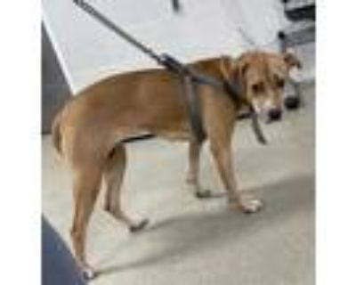 Adopt 48047287 a Tan/Yellow/Fawn American Staffordshire Terrier / Mixed dog in