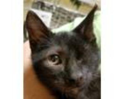 Adopt Bobby Bean a All Black Domestic Shorthair / Domestic Shorthair / Mixed cat