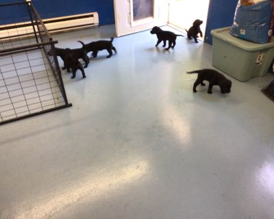 Black Males and Females Labrador Retriever Puppies Available