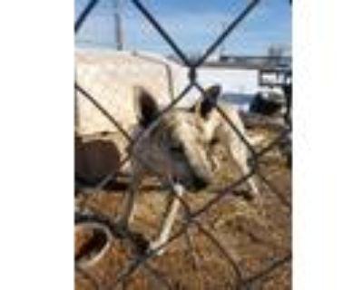 Adopt Stix a Australian Cattle Dog / Blue Heeler, Mixed Breed