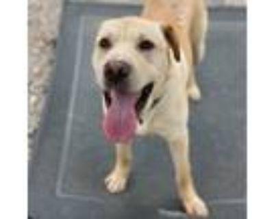 Adopt Martin a Tan/Yellow/Fawn Labrador Retriever / Shar Pei / Mixed dog in