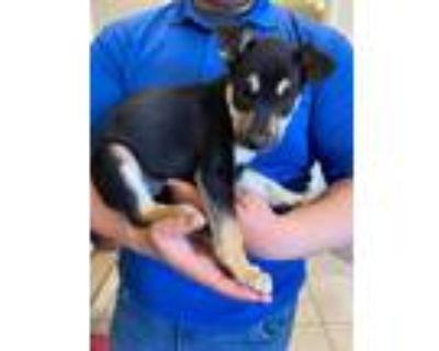 Adopt Puppy #1 a Doberman Pinscher, Husky