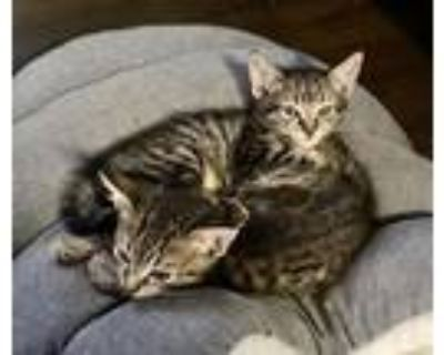 Adopt *Charles & Andrew a Brown Tabby Domestic Shorthair / Mixed (short coat)