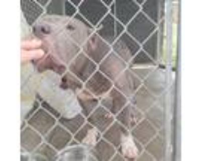 Adopt Penelope a Gray/Silver/Salt & Pepper - with Black Pit Bull Terrier / Mixed