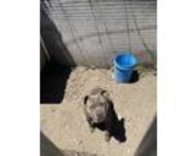 Adopt Bentley a Gray/Silver/Salt & Pepper - with Black American Pit Bull Terrier
