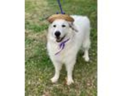 Adopt Lacey a Great Pyrenees