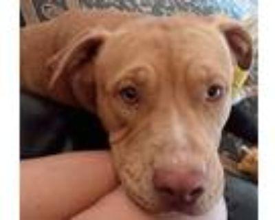 Adopt Freyja a Tan/Yellow/Fawn American Pit Bull Terrier / American