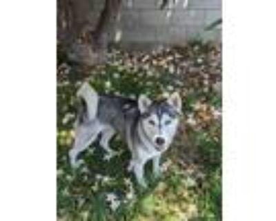Adopt Rita a Siberian Husky / Mixed dog in Van Nuys, CA (31976803)