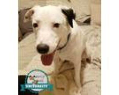 Adopt Blazer a Labrador Retriever, Shepherd