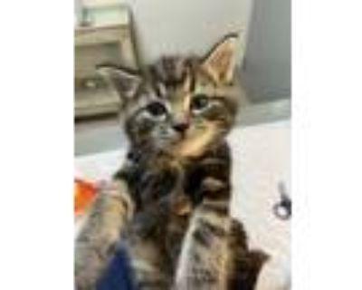 Adopt Truman a Brown or Chocolate Domestic Shorthair / Mixed cat in Arlington