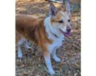 Adopt Maggie a Australian Cattle Dog / Blue Heeler, Mixed Breed