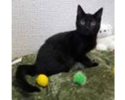 Adopt Charmie a All Black Domestic Shorthair / Domestic Shorthair / Mixed cat in