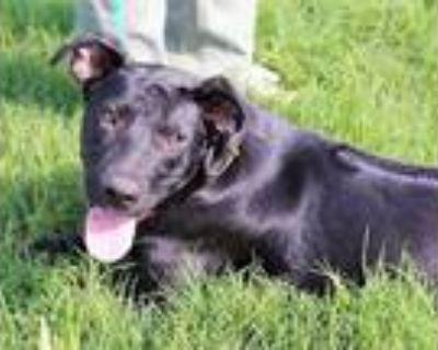 Adopt Ridge a Black Labrador Retriever / Rhodesian Ridgeback / Mixed dog in
