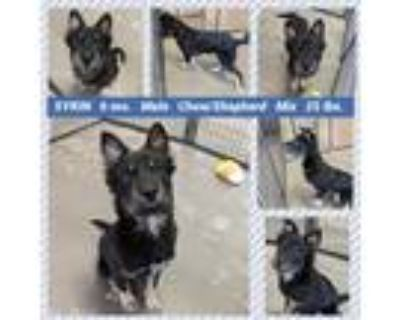 Adopt SYRIN a Black - with Brown, Red, Golden, Orange or Chestnut Chow Chow dog